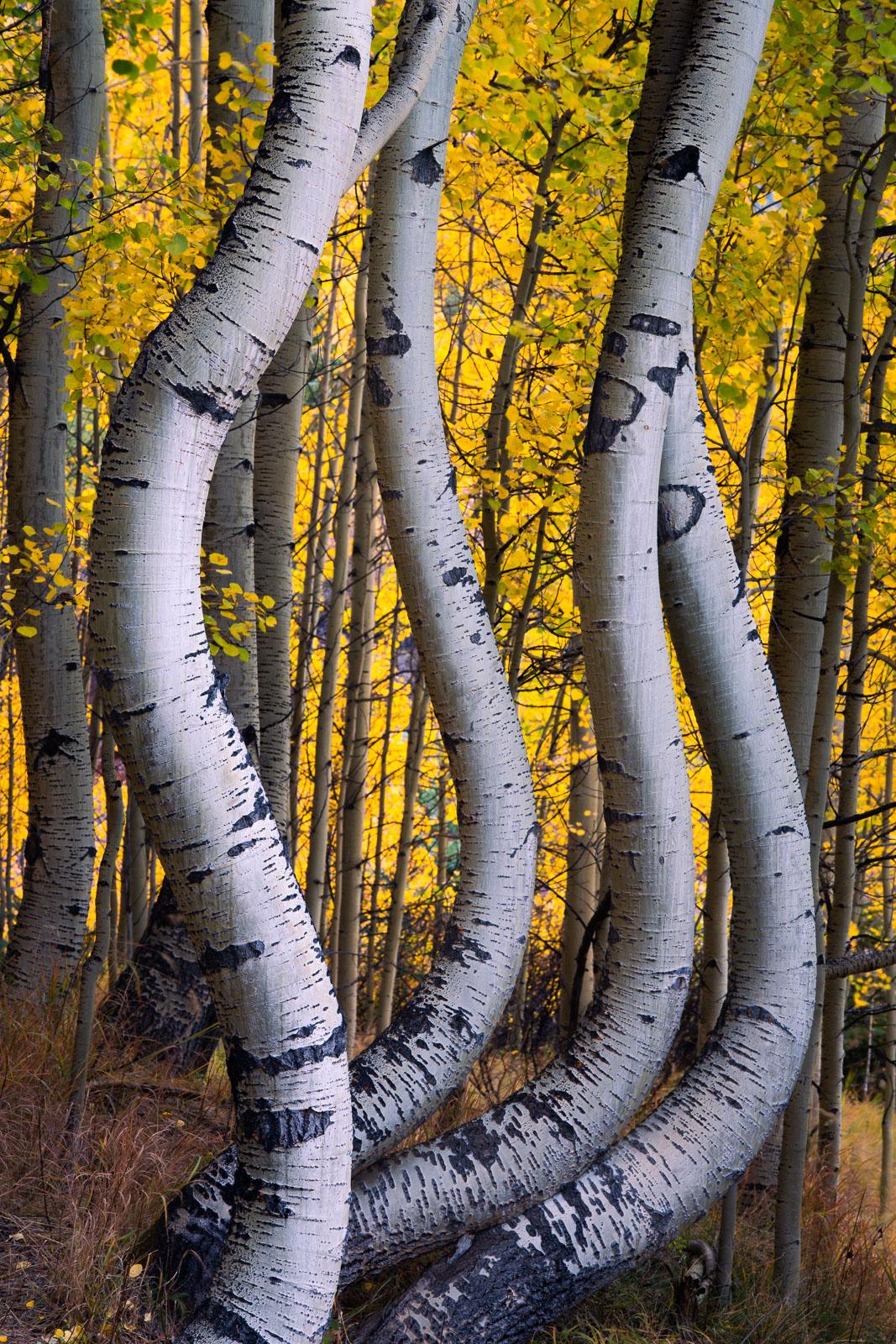 Curvy aspens captured in peak autumn color near Telluride, Colorado.