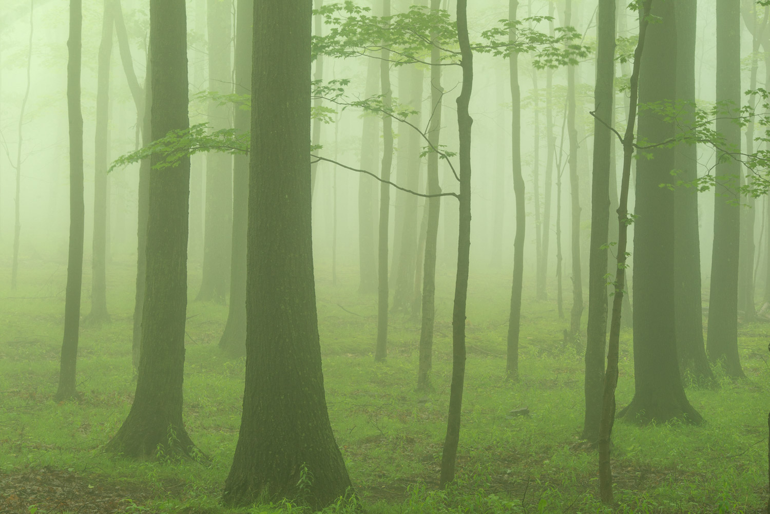Morning fog in the hardwood forest captured on a spring day in May.