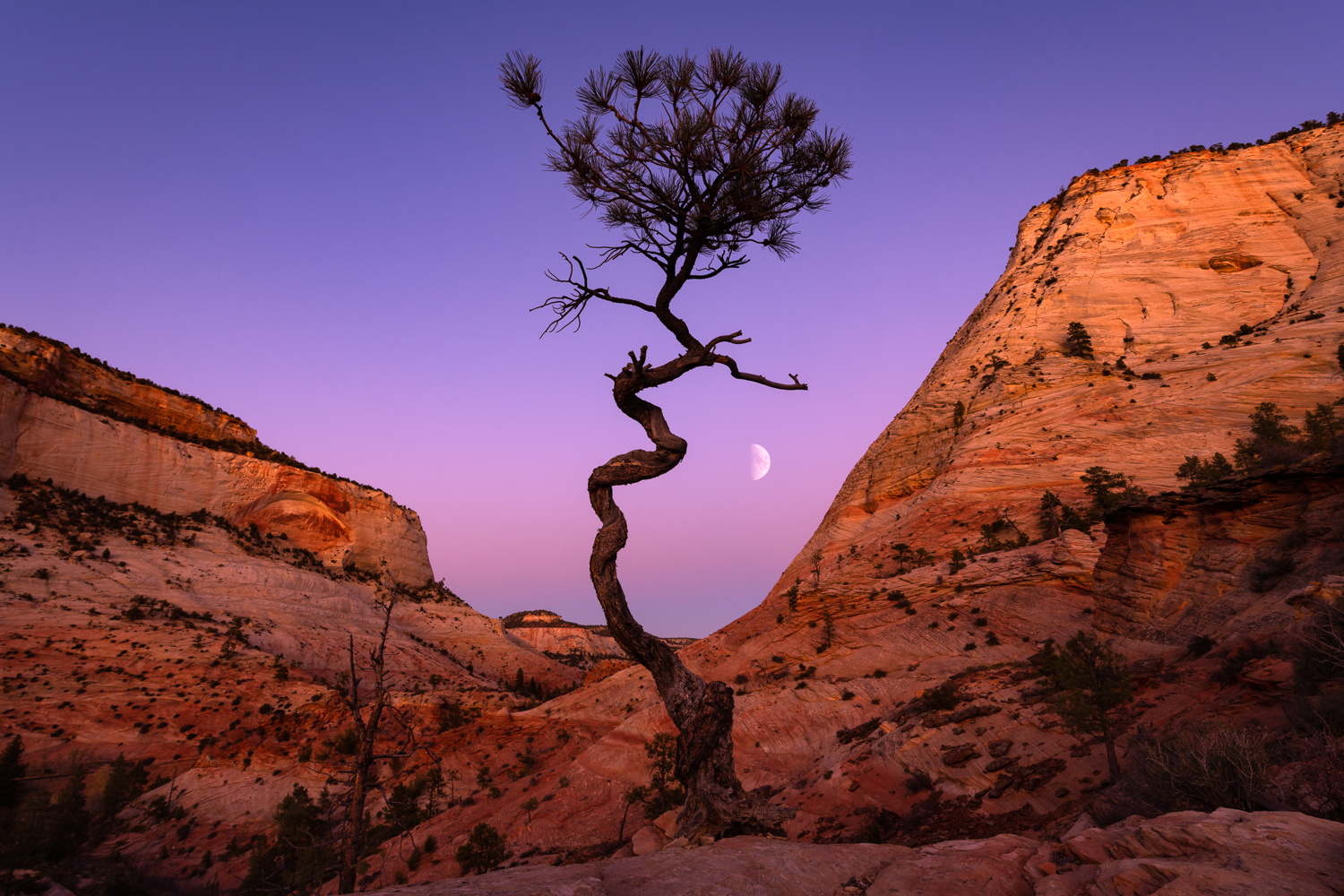 A twisted Pine Tree high on Checkerboard Mesa as the moon rises above the Belt of Venus.