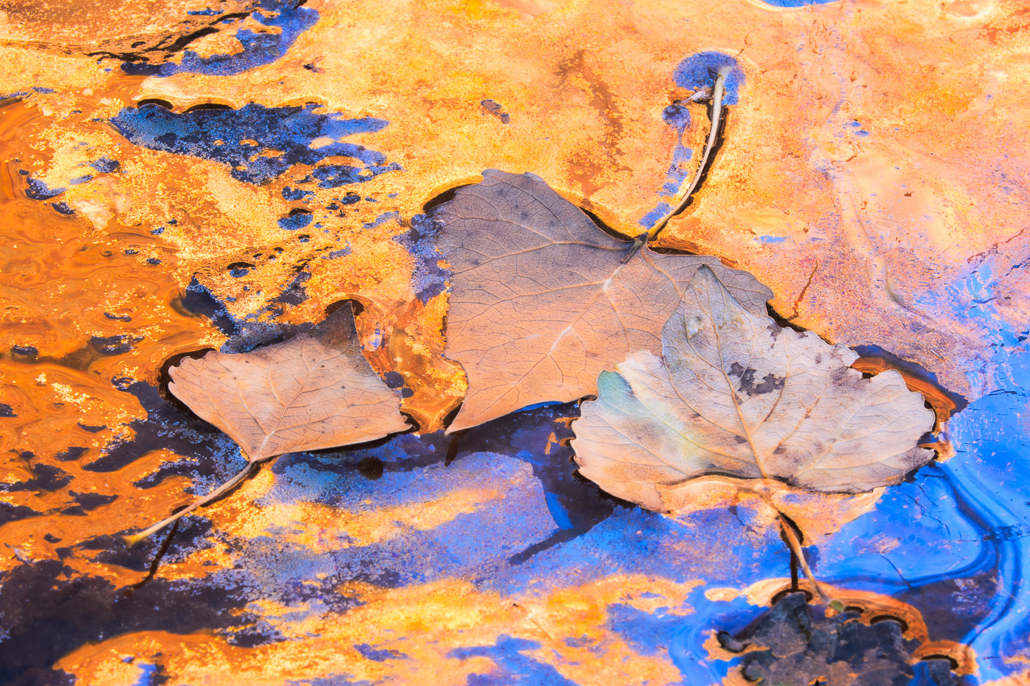 Cottonwood Leaves and reflections, Zion Canyon.