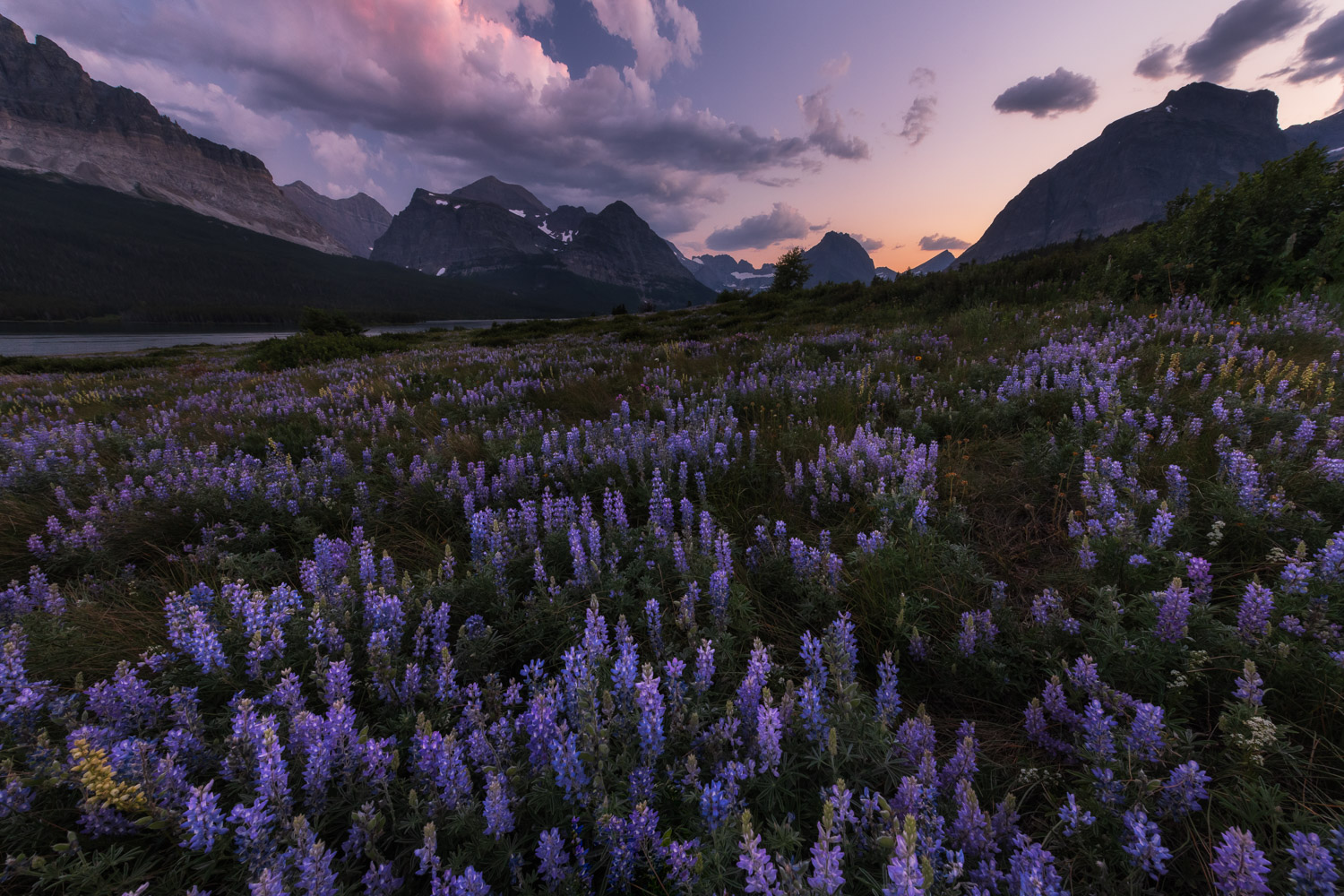 Lupine and the towering peaks of the Continental divide at sunset from Many Glacier.