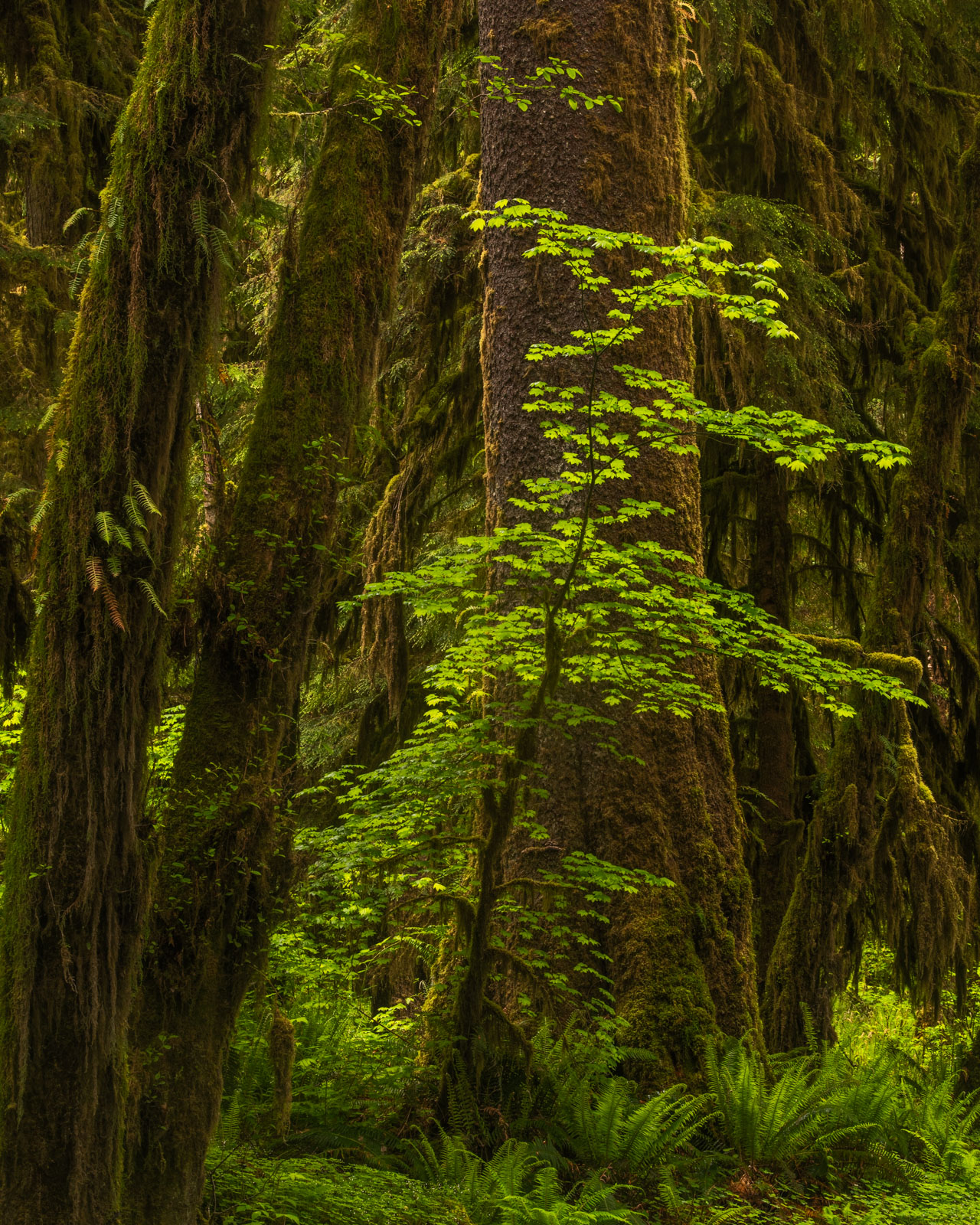 A Vine Maple in the shadow of a gigantic Cedar tree in the Hoh Rainforest.