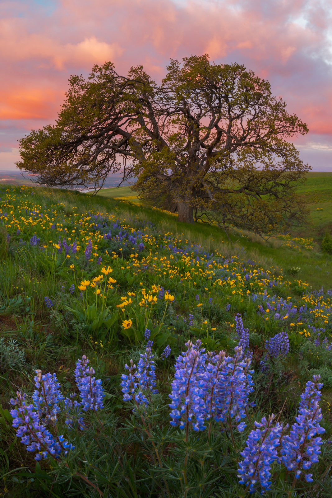 Wildflowers and Oak at sunrise, Dalles Mountain Ranch.