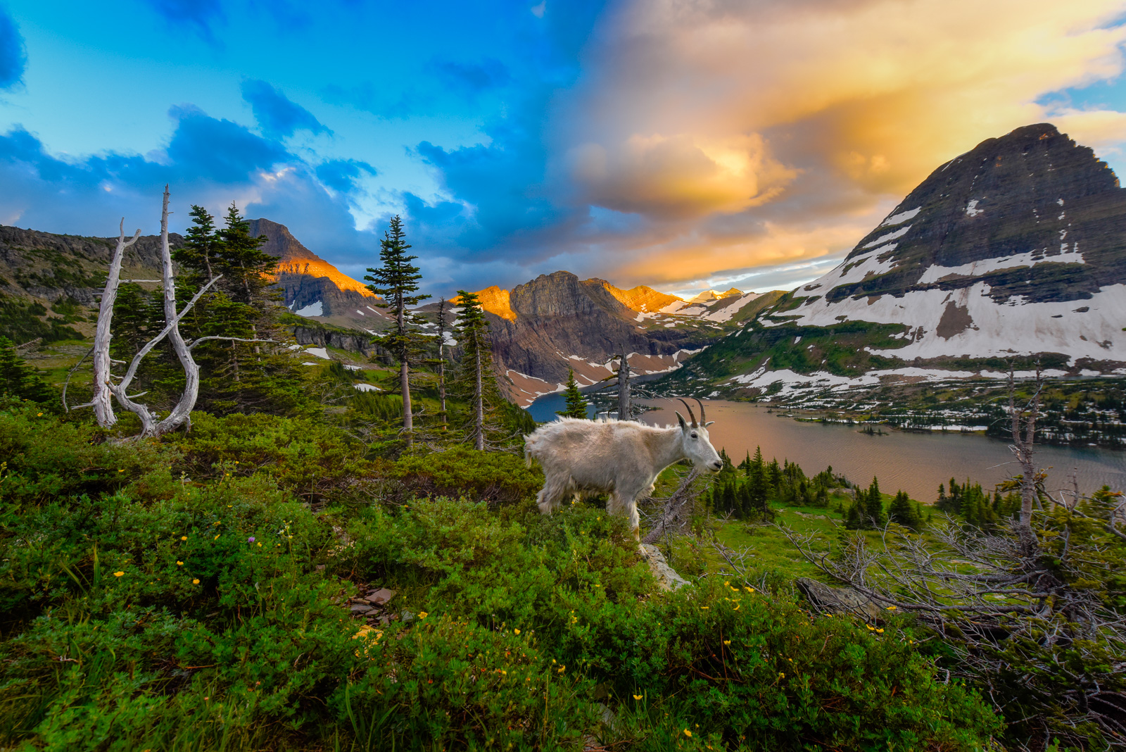 Mountain Goat above Hidden Lake at sunset, Glacier National Park.Add beauty to your space with a Joseph Rossbach limited edition...