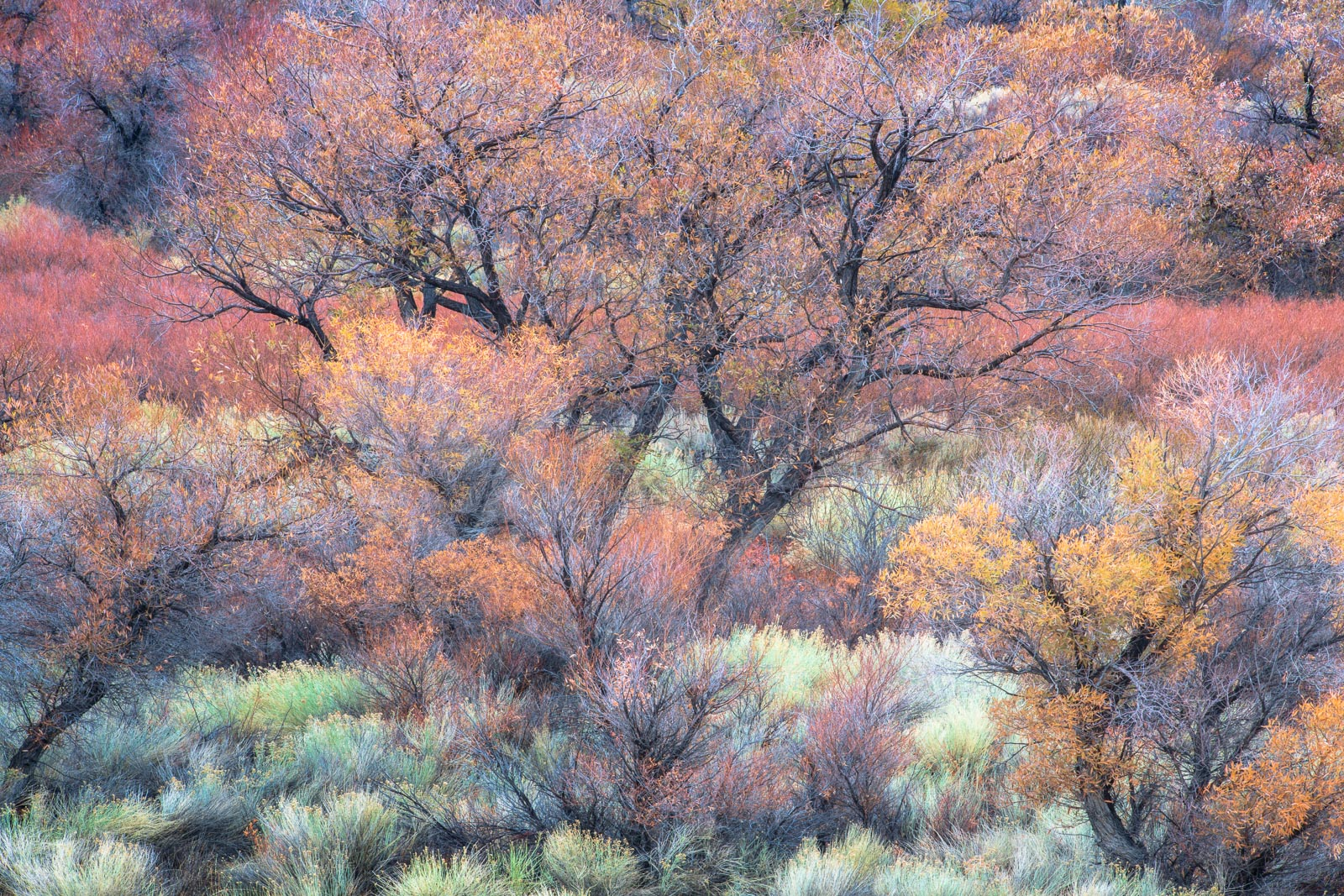 Colorful cottonwoods, rabbnitbrush and sage as they transition from autumn xolor to winter hues.