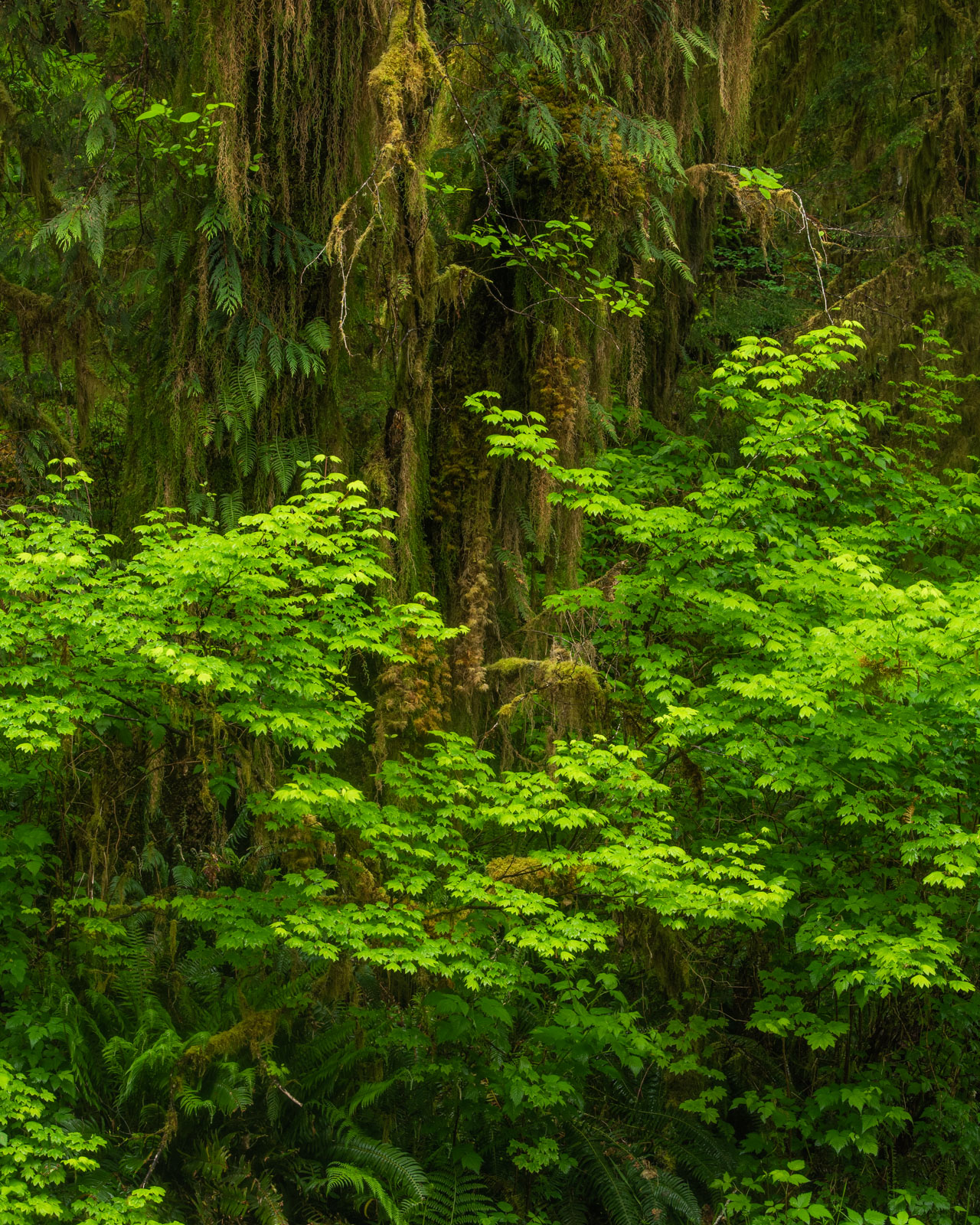 Vine Maple, Ferns and Cedars in the Quinault Rainforest.