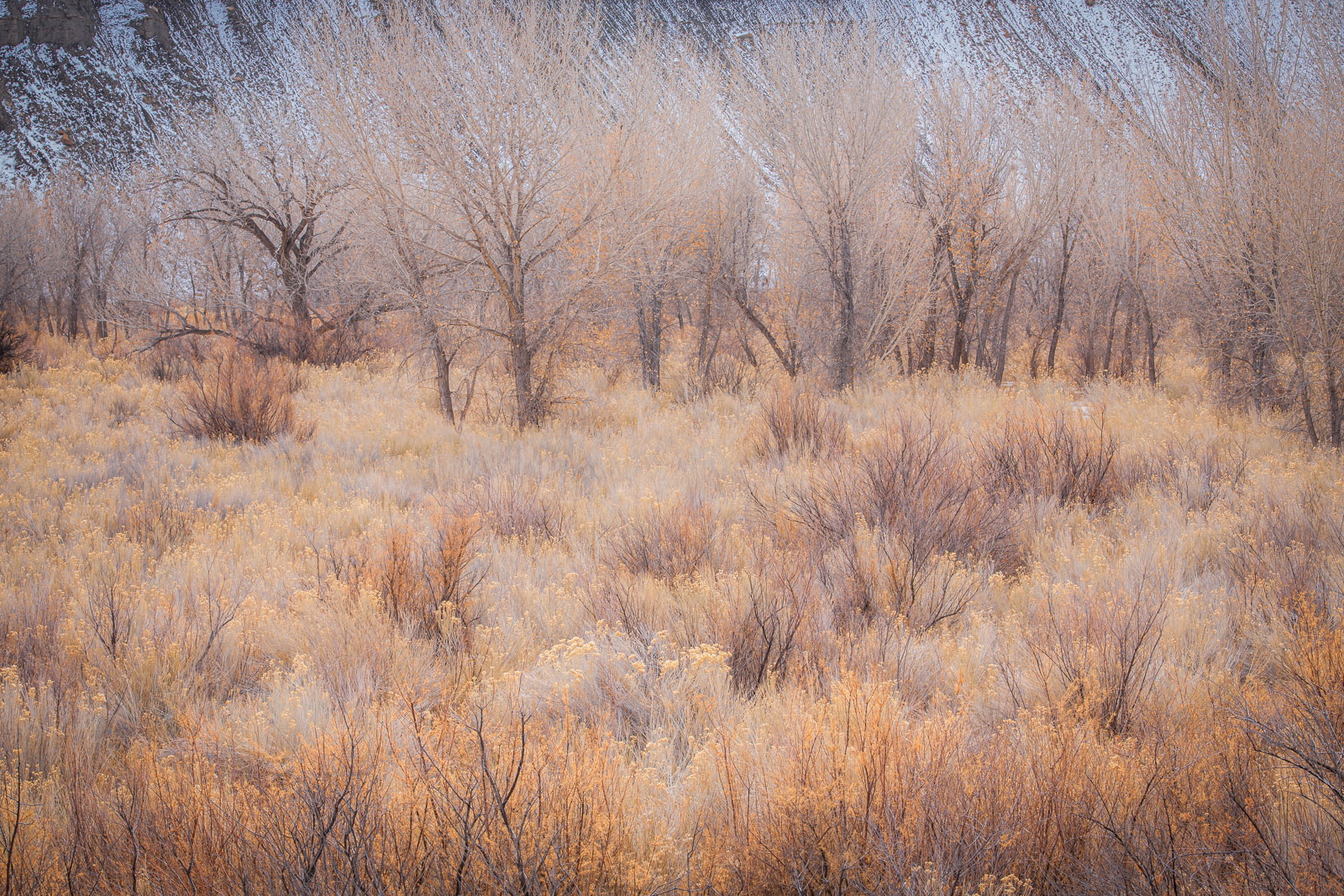 Winter pastels in the reparian cottonwoods and rabbit brush along the Fremont River.