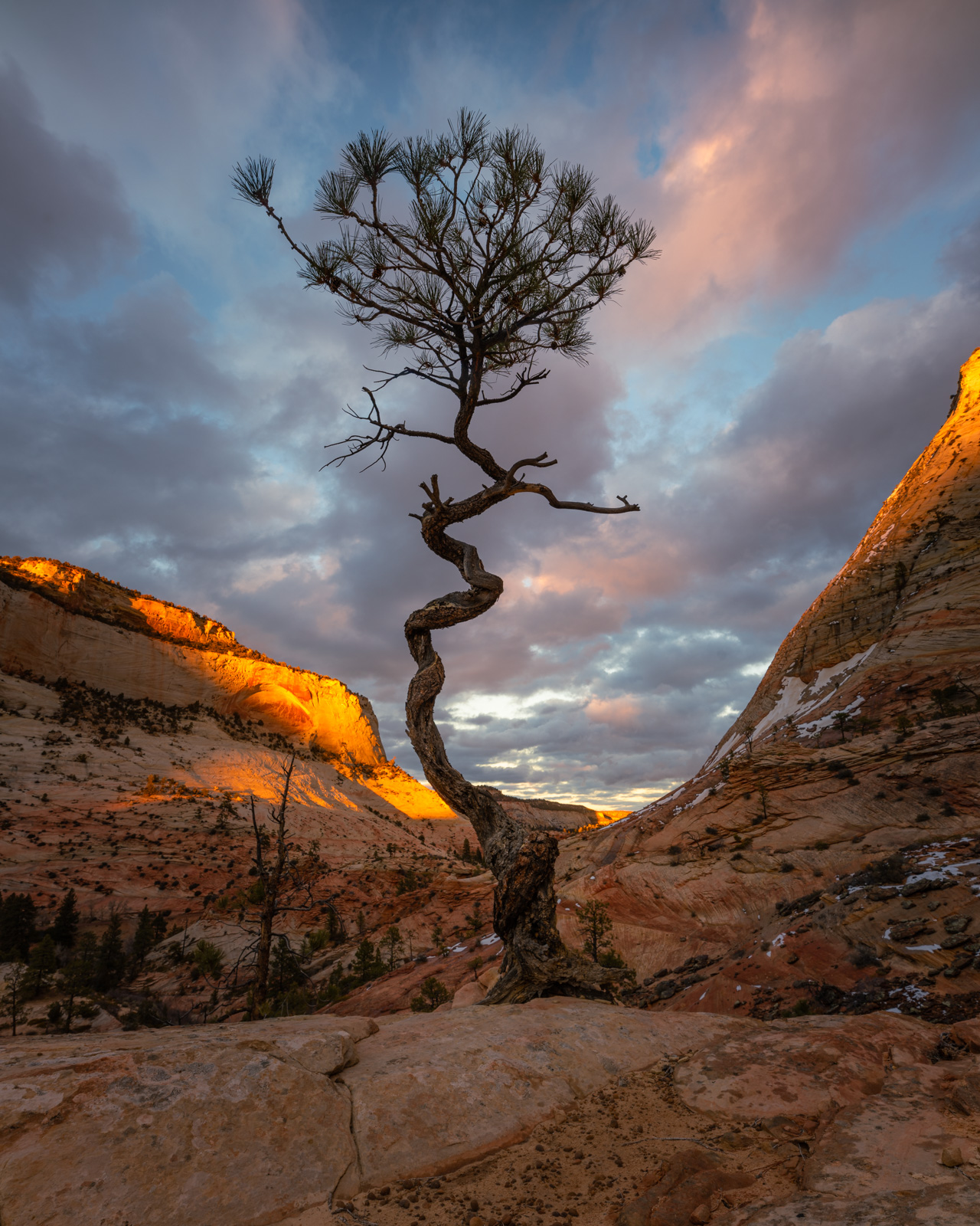 A twisted bonsia-like Utah Juniper atop an exposed sandstone ridge on Checkerboard Mesa, Zion, Utah.