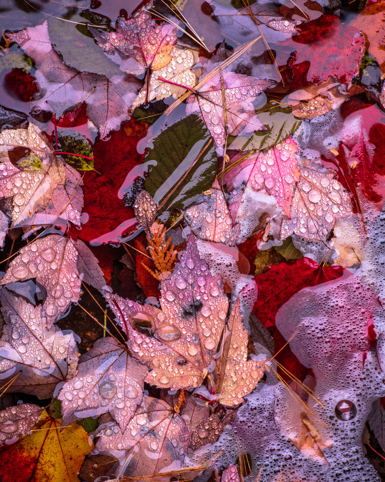Fallen maple leaves and water droplets found along one of Acadia National Parks many carriage roads.