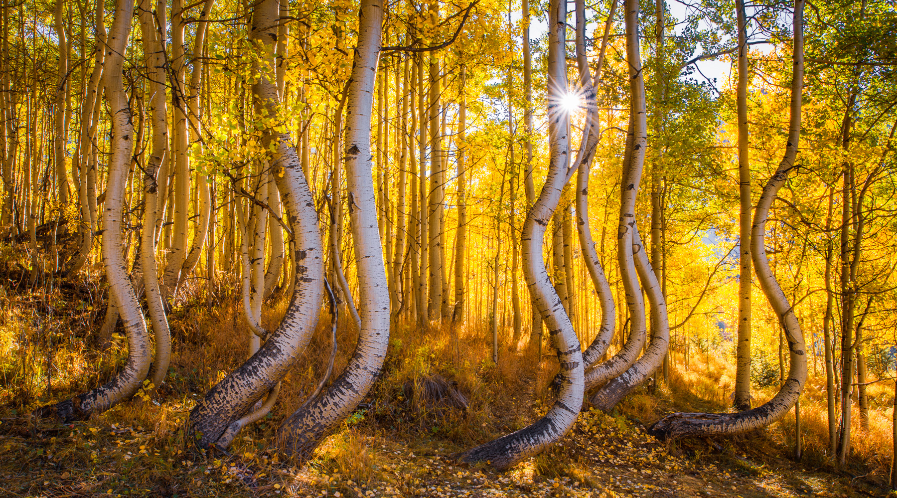 A unique stand of twisted autumn aspens, San Juan Mountains, Colorado Available Print Sizes: 8x16, 12x24,15x30,20x40,30x60Limited...