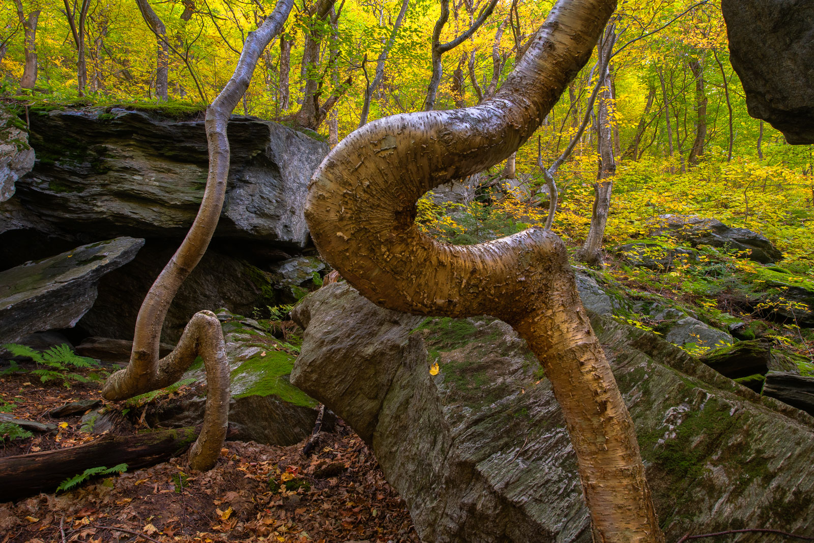 Twisted Birch Tree's in Smugglers Notch, Mount Mansfield State Forest, Vermont.