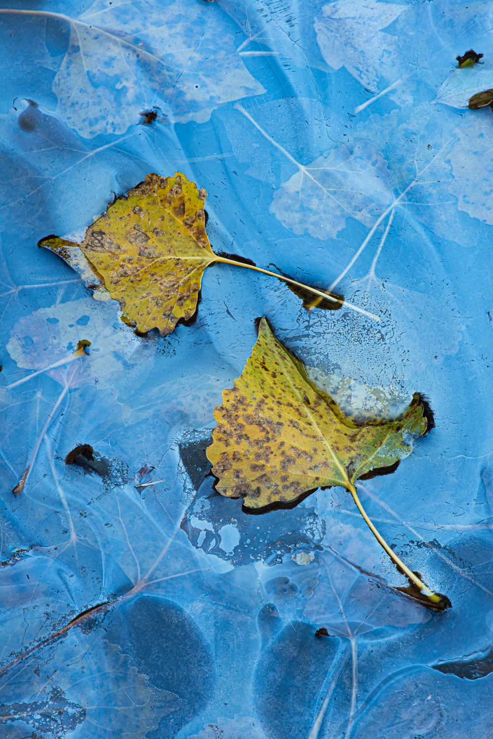 Cottonwood leaves and reflections.