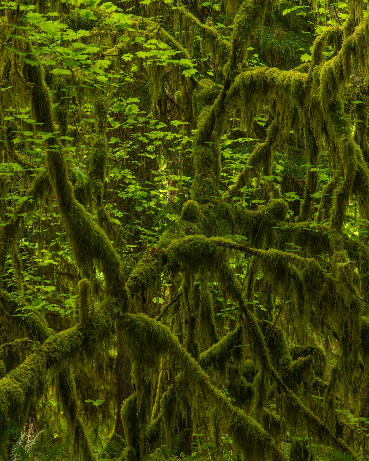 Moss covered Vine Maple in the Hoh Rainforest.