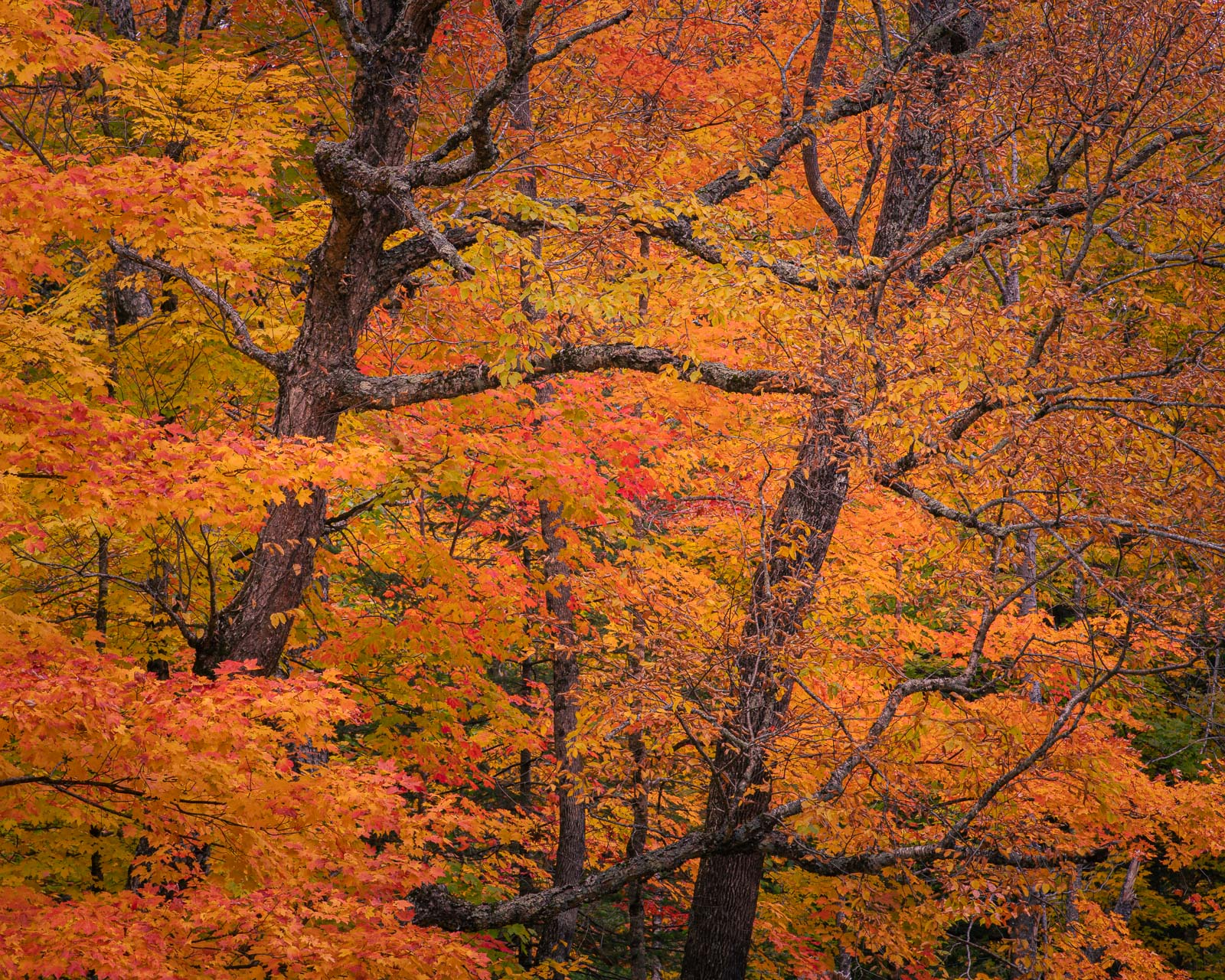 Autumn color in the mountains of New Hampshire near the Swift River in the White Mountains National Forest.
