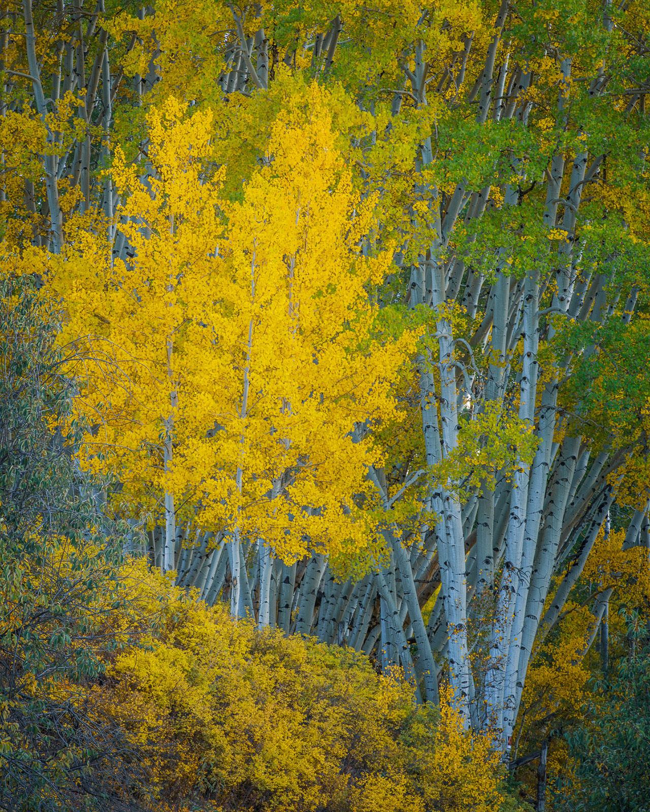 Aspens in full peak autumn color near Telluride, Colorado.