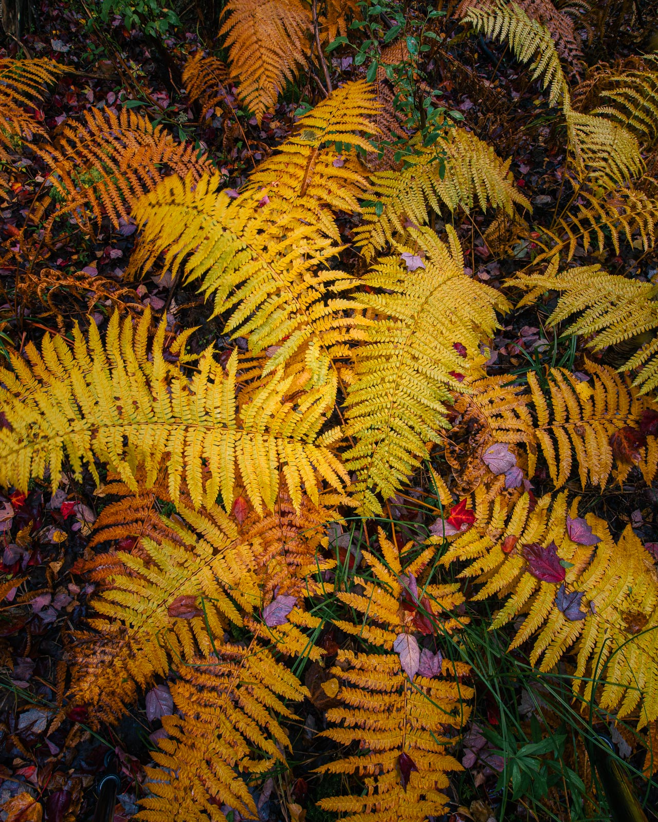 Autumn ferns and fallen leaves in Acadia National Park.